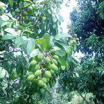 Unripe Lychee Fruit