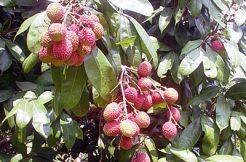 Ripe Lychee Fruits